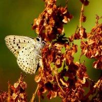 голубянка на сушняке :: Александр Прокудин