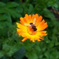 Конец лета: то-ли муха, то-ли пчела :: Дубовцев Евгений