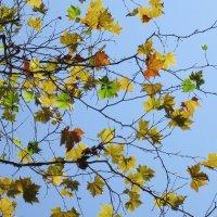 Платан желтеет -осень пришла ! :: valeriy khlopunov