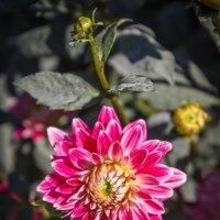 «…Он в осеннем саду властелин, Это яркий цветной георгин.» :: Андрей Нибылица