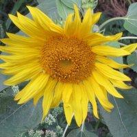 Солнечный цветок :: Дмитрий Никитин