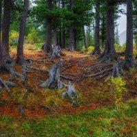 В кедровом лесу 4 :: Альберт Беляев
