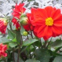 Красный осенние цветы :: Дмитрий Никитин
