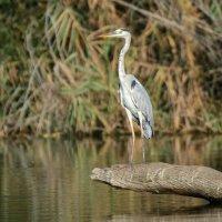 gray heron :: Александр Григорьев