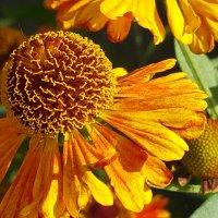 Цветочное солнышко :: Вероника