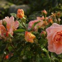 Запах роз. :: Наталья Соколова