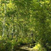 Берёзовый лес :: Марина Кириллова