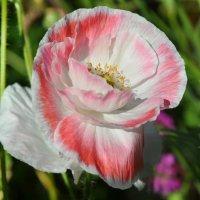 бело-розовый :: vg154