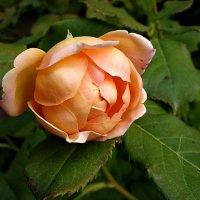 октябрьская роза :: Александр Корчемный