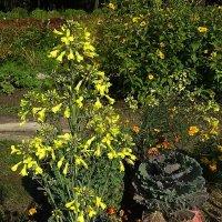 Цветет рапс, рядом декоративная капуста :: Маргарита Батырева