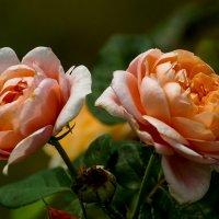 Розы :: Павел Руденко