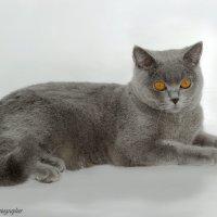 Британская короткошерстная кошечка :: Светлана