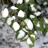 Листья в Снегу... :: Дмитрий Петренко