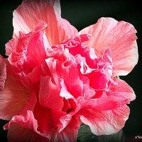 """прелести от природы:роза """"китайская"""" :: Олег Лукьянов"""