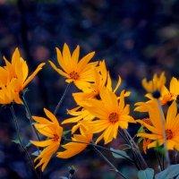 Цветёт топинамбур :: Светлана