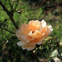 Роза :: Fiodor