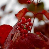 калина красная :: navalon M