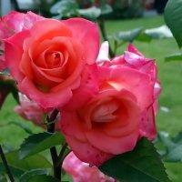 Алые розы :: Владимир Бровко