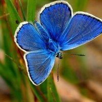 красавица-голубянка :: Александр Прокудин