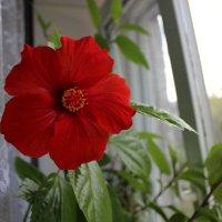 Цветок розы :: Татьяна Коблова