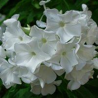 Осенние цветы (белые флоксы) :: Милешкин Владимир Алексеевич