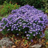 Осенние цветы - души очарованье... :: Galina Dzubina