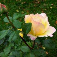 Осенняя роза :: Елена