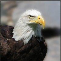 Белоголовый орлан :: Александр