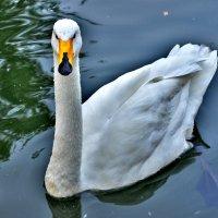 белый лебедь на пруду ... :: Иван Владимирович Карташов