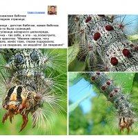 Гусеница непарного шелкопряда :: Генрих Сидоренко