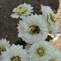 Муха на хризантеме :: Нина Корешкова