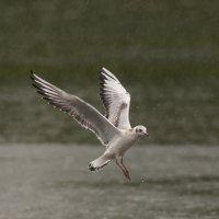 Озерная чайка под дождем :: Svetlana Golovanova