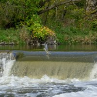 Удачный перелёт метрового лосося! Аплодисменты на берегу! :: Юрий Поляков