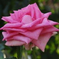 Октябрьская роза... :: Тамара (st.tamara)