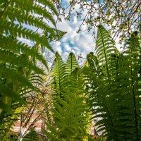 Папоротниковый лес :: Николай Бабухин