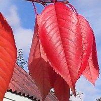 """Осень  в  саду."""" Прощальный  лист  черешни """". :: Виталий Селиванов"""
