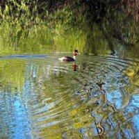 Дикая птица на реке :: Татьяна Королёва
