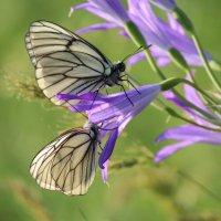 бабочки, Казахстан ЮКО :: Бахытжан