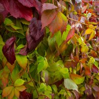 Осенний виноград :: Alhna ---