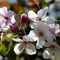 Яблони цветут... (Макро несколько объектов) :: Наталья Чистополова
