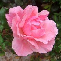 Розовая роза :: Нина Корешкова