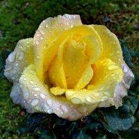 Осенняя роза в крупных каплях дождя. :: Пётр Сесекин