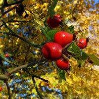 """""""Зреют ягоды шиповника, солнце льёт свой жаркий свет..."""" :: Galina Dzubina"""