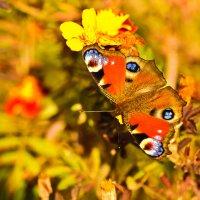 последняя бабочка :: надежда Коновалова