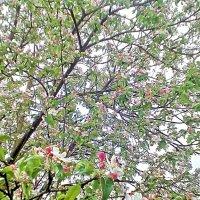 Цветущая яблоня :: Kseniya Merkulova