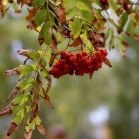 Осенние краски, осенние дни... Вновь гроздья рябины горят как огни... :: Светлана