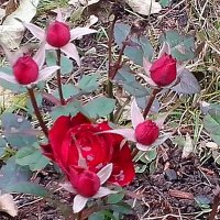 Дачные зарисовки. Карликовая  роза продолжает  цвести  и в холод! :: Виталий Селиванов