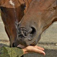 Вот так надо кормить лошадей :: Светлана Винокурова