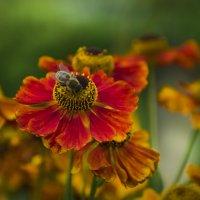 Пчела на цветке :: Анастасия Графова