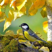 Осенняя синица :: Влад